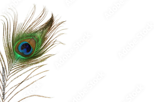 Stampa su Tela peacock feather in white background with text copy space
