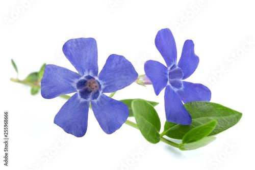 Obraz na płótnie periwinkle  flowers