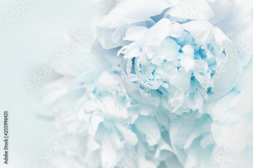 Pięknych błękitnych peonia płatków zamknięty up. Naturalne tło kwieciste. Skopiuj miejsce Miękka selektywna ostrość.