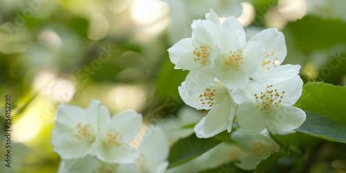 Canvas Print delicate white jasmine flowers