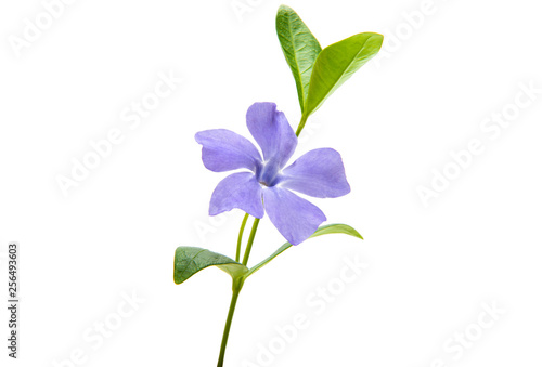 Fotografia periwinkle flower with leaves