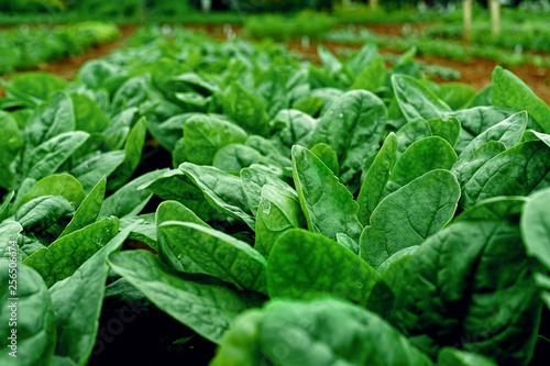 Leinwand Poster Rows of fresh young garden spinach.