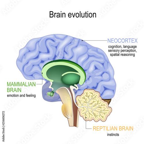 Brain evolution Fototapeta