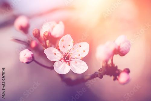 Cherry blossoms Fototapete