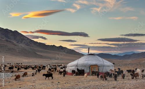 Fotografie, Obraz goats surrounding a yurt in Western Mongolia