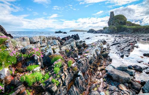 Fototapeta Pink flowers grow among the rocks at an intertidal zone on the island of Islay, Scotland, UK