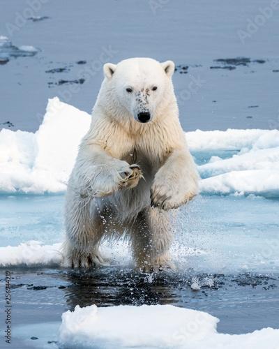 Fototapeta Polar Bear leaping a gap in the ice, head on close up, mid-air