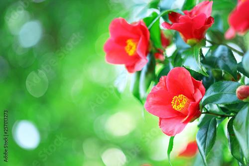 ツバキ 赤い花 Fototapet