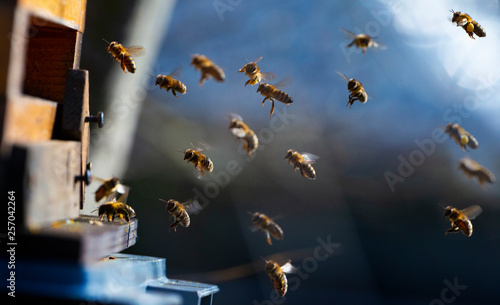 Foto bee hive - bee breeding (Apis mellifera) close up