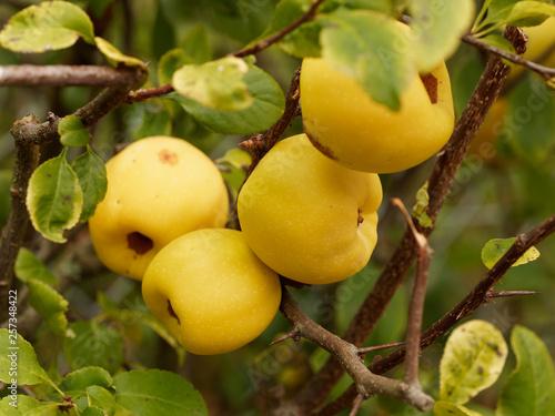 Fotografija Fruits pommacés et jaunâtre du Cognassier du Japon (Chaenomeles japonica)