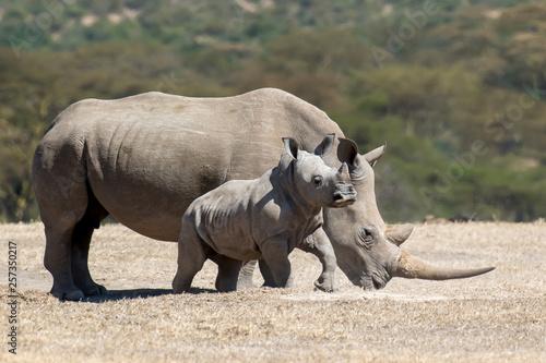 Obraz na płótnie African white rhino