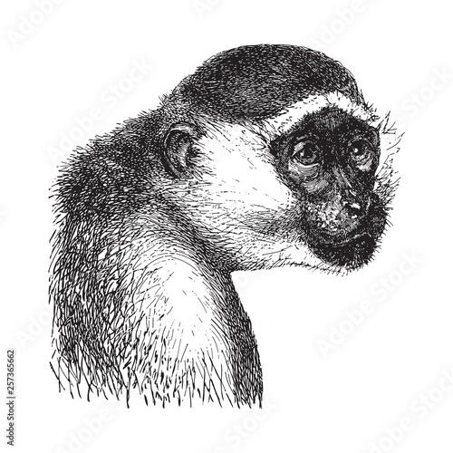 Green monkey (Cercopithecus sabaeus) / vintage illustration from Brockhaus Konve Fototapet