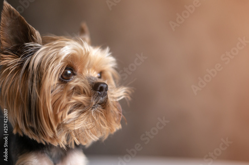 Canvas Print Yorkshire terrier dog close up