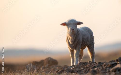 Canvas Print cute little lamb on fresh spring green meadow during sunrise
