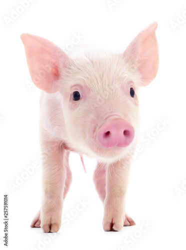 Photo Small pink pig isolated.