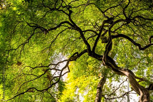 Fotografija Under large Weeping Viridis Laceleaf Japanese Maple Tree with green yellow summe