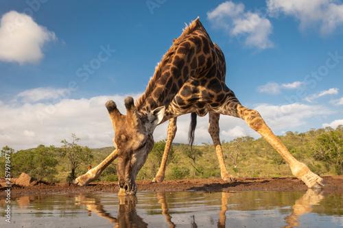 Canvas Print Southern giraffe drinking water