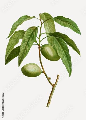 Foto Almond tree branch
