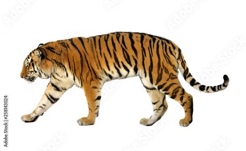 Canvas Print Young Siberian tiger (P