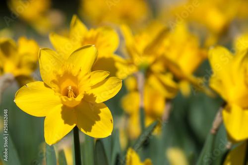 Billede på lærred closeup of yellow daffodils in a public garden