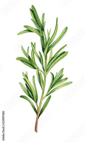 Fotografie, Obraz Watercolor rosemary twig illustration
