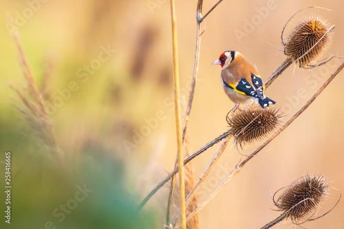 Fotografia European goldfinch bird, (Carduelis carduelis), feeding on Teasel Dipsacus