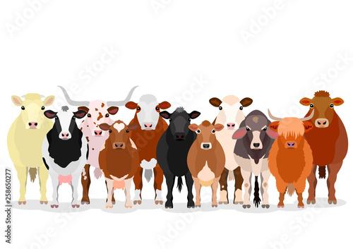various cattle group Fototapeta