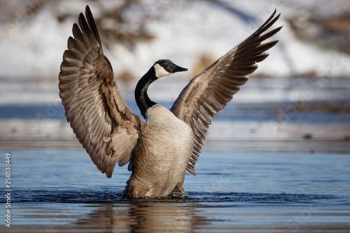 Fotografie, Tablou Goose praying for nice weather, wing flap, soaking in vitamin D from the Sun