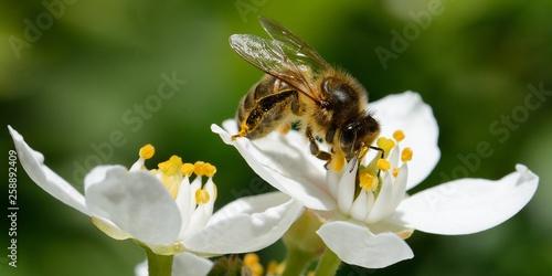 abeille dans le jardin Fototapeta