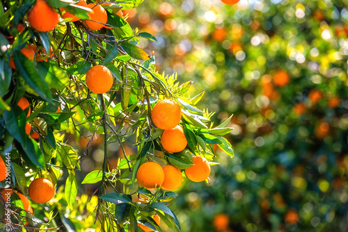 Fotografiet Orange garden in sunlight with rape orange fruits on the sunny trees and fresh green leaves