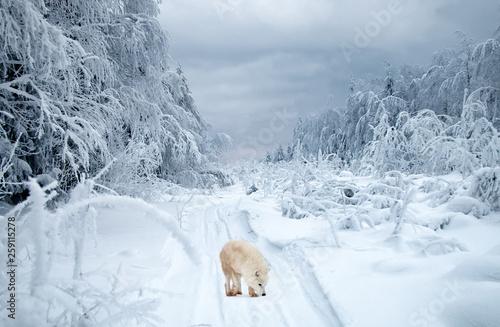 Photo Polar wolf in the taiga