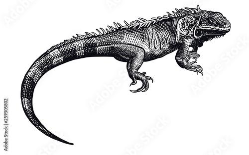 Carta da parati Iguana. Black and white reptile. Lizard isolated.
