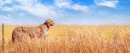 Gepard w afrykańskiej sawannie. Afryka, Tanzania, Park Narodowy Serengeti. Projekt banera.