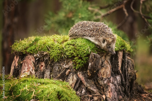 Fotografia, Obraz Hedgehog on stump