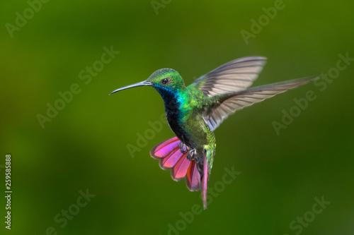 Black-throated Mango hummingbird hovering Fototapeta