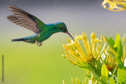Obraz na płótnie Blue-chinned Sapphire hummingbird feeding on an Ixora hedge.
