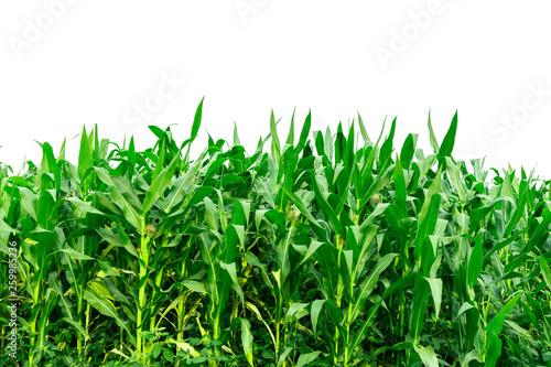 Leinwand Poster Corn garden isolated on white background