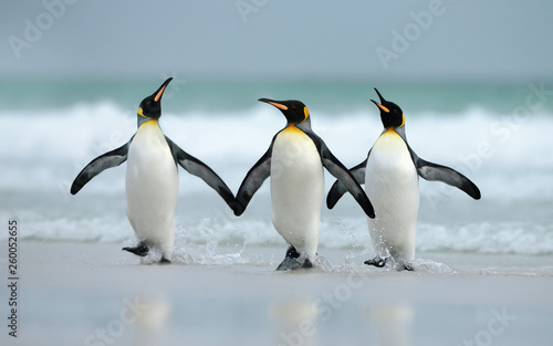 Canvas Print King penguins coming from the ocean