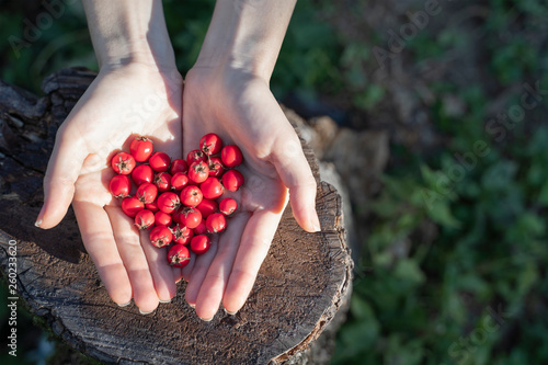 Fotografie, Obraz Woman hands holding hawthorn berry heart shape on a wood forest background