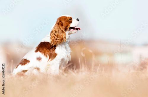 Cavalier King Charles Spaniel dog on the grass Fototapeta