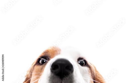 Wallpaper Mural Süßer Hund versteckt sich und guckt hervor, freigestellt vor Weiß, Augen und Nas
