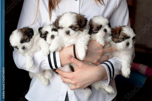 Obraz na płótnie Five puppies shitzu in the hands of the breeder.
