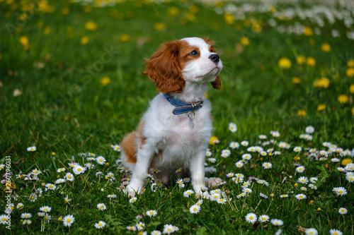Obraz na plátně Blenheim Cavalier King Charles spaniel puppy in the grass