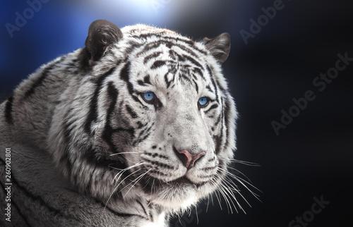 Portrait of Bengal tiger white variation on blue background. Fototapete