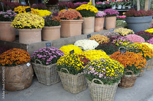 Fotografia Variety of potted chrysanthemum plant in the flowers bar.