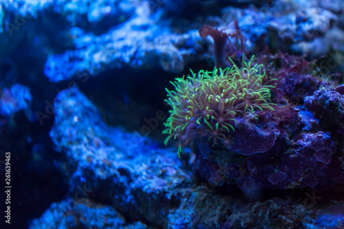 Valokuvatapetti sea anemone in coral reefs