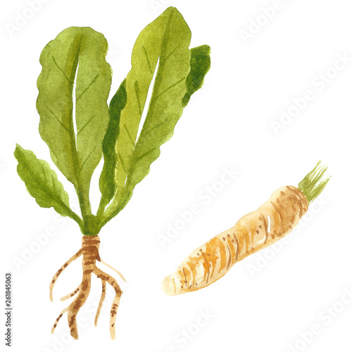 Wallpaper Mural Branch and root of horseradish, hand drawn watercolor illustration isolated on w