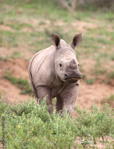 Photo baby rhino in Kruger National Park;