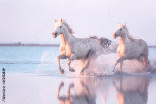 Fototapeta Beautiful white horses run gallop in the water at soft sunset light, National pa