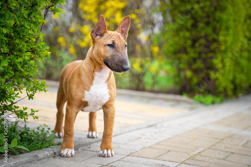 Canvas Print Beautiful red miniature bull terrier puppy outdoors